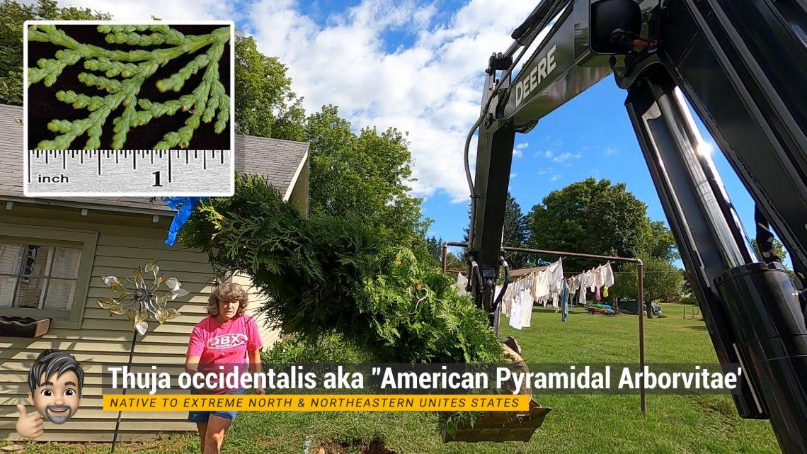 Installing Thuja occidentalis - aka 'American Pyramidal Arborvitae'